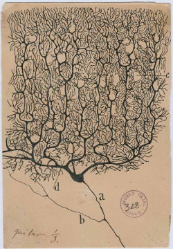 Image of drawing by Santiago Ramón y Cajal